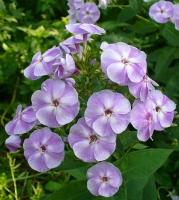 Виолетта