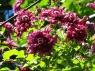 Ветицелла флора плена