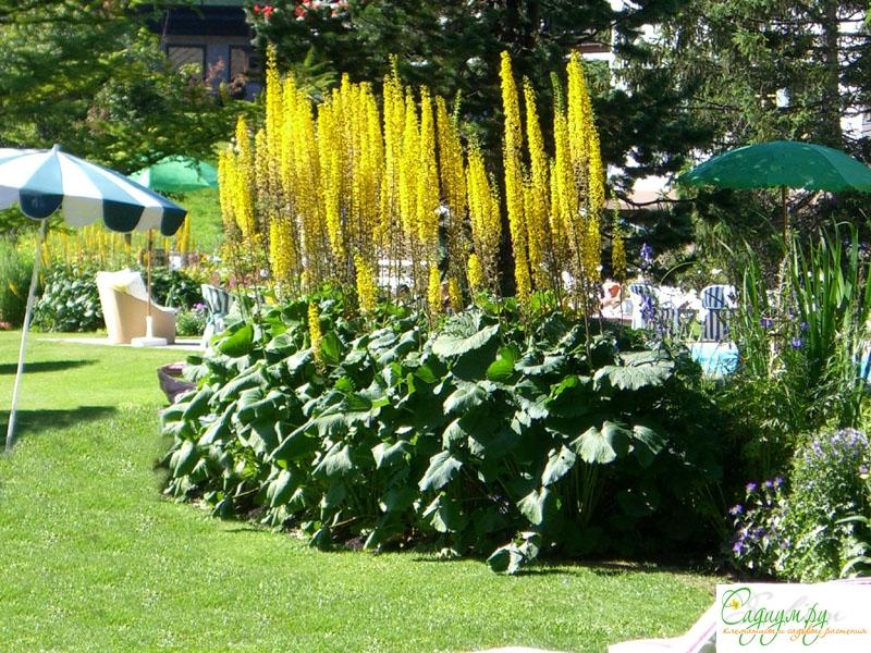 фото цветы бузульник