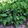 Ландыш садовый