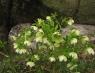 Морозник (Геллеборус) Кавказикум лекарственный
