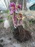 Морозник (Геллеборус) пурпураскенс