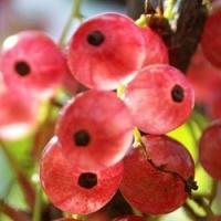 Смородина розовая (голландская)