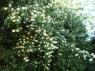 Жасмин (Чубушник венечный) махровый, крупноцветковый. Крупномер 5-6 лет.