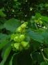 Орех (лещина) тамбовский ранний